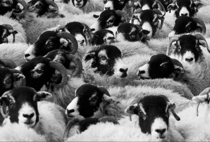 conformity sheep